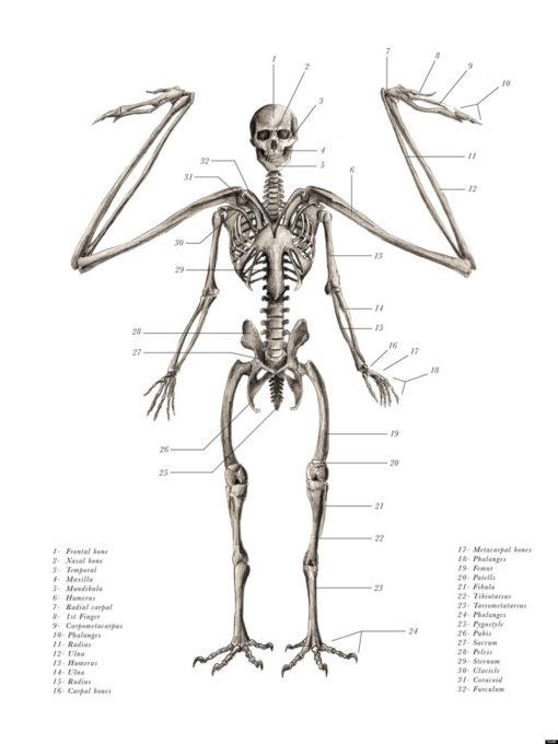 anatomical_illustrations_mythological_creatures_1