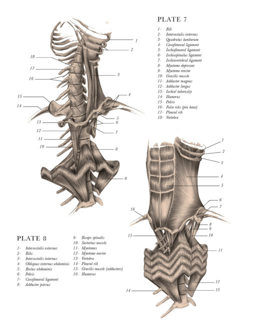 anatomical_illustrations_mythological_creatures_3